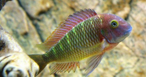 Hình ảnh cá ali Tropheus Cầu Vồng