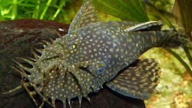 Hình ảnh Cá Tỳ Bà Mũi Lông - Bristlenose Pleco