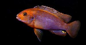 Hình ảnh Cá ali Lavender - Rusty Cichlid