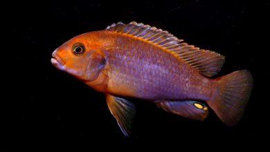 Photo of Cá Ali Lavender – Rusty Cichlid – Lavender Mbuna – Lodotropheus Sprengerae