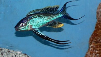 Photo of Cá Ali Lông Vũ – Featherfin Cichlid – Cyathopharynx Furcifer
