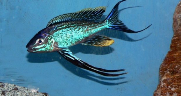 Một trong những loại cá ali đẹp nhất hồ Tanganyika