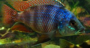 Hình ảnh Cá Ali Milomo - Placidochromis Milomo