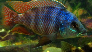 Photo of Cá Ali Milomo – Placidochromis Milomo – Super VC-10 Hap