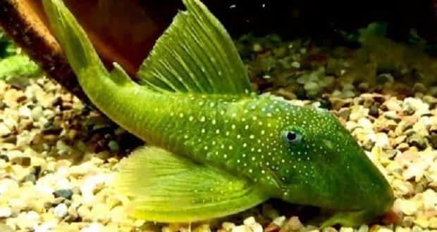Hình ảnh Cá Tỳ Bà Green Phantom