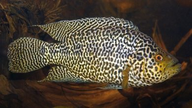 Photo of Cá Ali Jaguar – Jaguar Cichlid – Parachromis Managuense