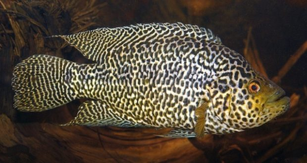 Hình ảnh cá Jaguar