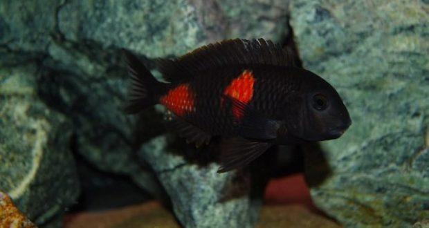 Hình ảnh Cá ali Tropheus Anh Đào