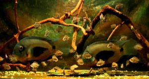 Hình ảnh Cá Ali Uaru