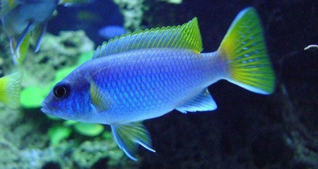 Hình ảnh Cá ali Acei Đuôi Vàng - Yellow Tail Acei