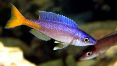 Photo of Cá Ali Sardine – Sardine Cichlid – Cyprichromis Leptosoma