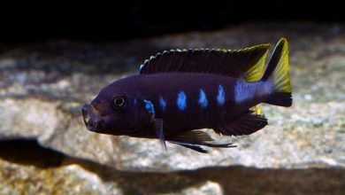 Hình ảnh Cá ali Chewere - Pseudotropheus Elongatus Chewere