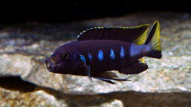 Photo of Cá Ali Chewere – Pseudotropheus Elongatus Chewere – Elongatus Chewere