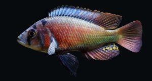 Hình ảnh Cá ali Red Rufus - Lithochromis Rufus