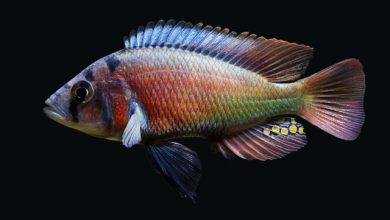 Photo of Cá Ali Red Rufus – Haplochromis Red Pseudonigricans – Lithochromis Rufus
