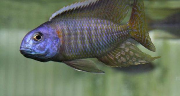 Hình ảnh Cá ali Parviden - Tramitichromis Red Flush