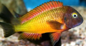 Hình ảnh Cá Ali Tropheus Ilangi - Tropheus Moorii Ilangi