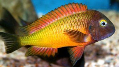 Photo of Cá Ali Tropheus Ilangi- Tropheus Moorii Ilangi – Tropheus sp. Ilangi