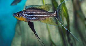 Hình ảnh Cá ali Tricoti - Benthochromis Tricoti