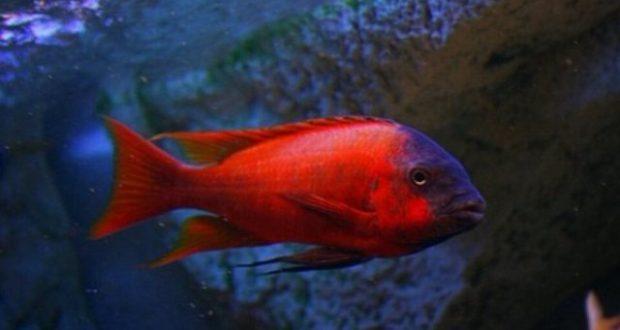 Hình ảnh Cá ali Bulu - Petrochromis sp. Red Bulu Point