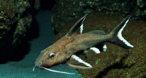 Hình ảnh Cá Trường Giang Đuôi Trắng - Synodontis Granulosus