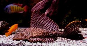 Hình ảnh Cá Tỳ Bà Beo - Leopard Pleco