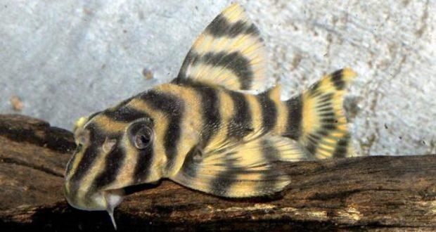 Hình ảnh Cá Tỳ Bà Kẹo Sọc - Candy Striped - Peckontia Vittata
