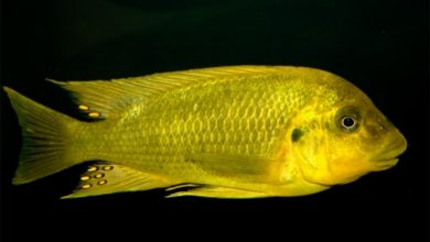 Photo of Cá ali Moshi – Petrochromis sp. Moshi Yellow