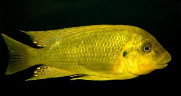Hình ảnh Cá ali Moshi - Petrochromis sp. Moshi Yellow