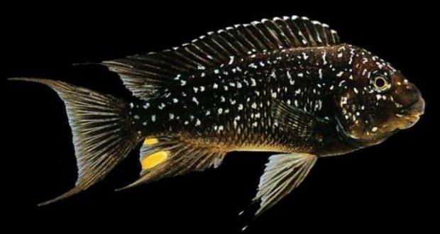 Hình ảnh Cá Ali Én Sao - Petrochromis Trewavasae