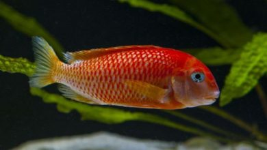 Photo of Cá ali Tropheus Red Bishop – Tropheus Golden Firefox – Tropheus sp.