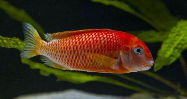 Hình ảnh Cá ali Tropheus Red Bishop - Tropheus Golden Firefox