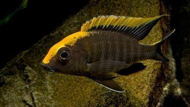 Photo of Cá Ali Đầu Vàng – Sulfurhead Aulonocara – Aulonocara Maylandi