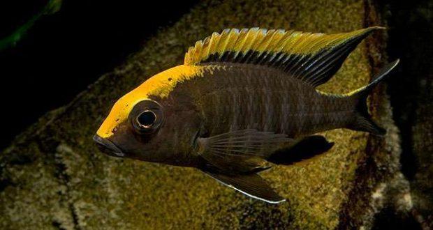 Hình ảnh cá ali Sulfurhead cichlid