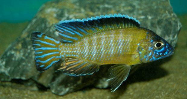 Hình ảnh Cá Ali Usisya - Flavescent Peacock
