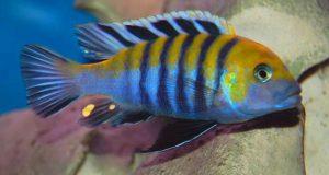 Hình ảnh Cá ali Afra - Cynotilapia Afra
