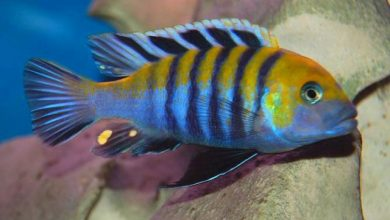 Photo of Cá Ali Afra – Cynotilapia Afra