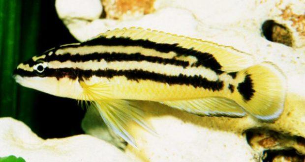 Hình ảnh Cá Ali Golden Julie - Julidochromis Ornatus