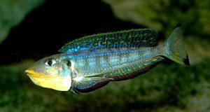 Hình ảnh Cá ali Kilesa - Enantiopus Kilesa