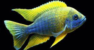 Hình ảnh Cá ali Lemon Jake - Lemon Jake Peacock