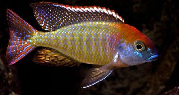 Hình ảnh Cá ali Mũ Đỏ - Lethrinops Red Cap