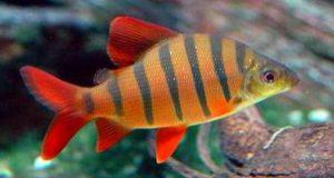 Hình ảnh Cá Vương Miện - Six-banded Distichodus