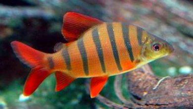 Photo of Cá Vương Miện – Six-banded Distichodus – Distichodus Sexfasciatus