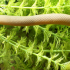 Hình ảnh Cá Rắn - Reedfish