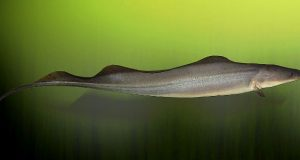 Hình ảnh cá Dao Aba Aba