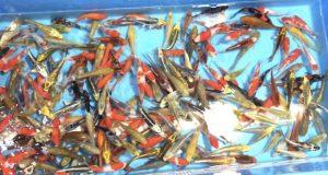 Hình ảnh Cá Koi Mix Tosai trại Maruhiro