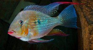 Hình ảnh Cá Hải Hồ Heckelii - Acarichthys heckelii