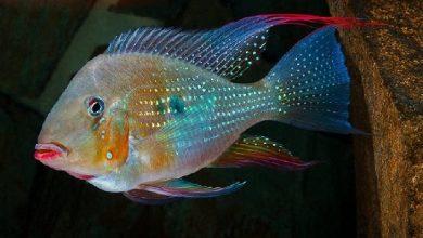 Photo of Cá Hải Hồ Heckelii – Acarichthys heckelii