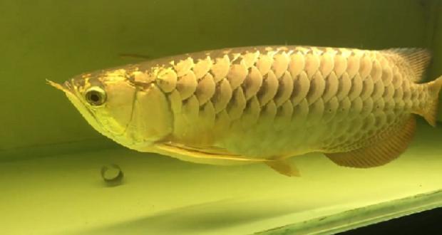 Hình ảnh Cá Rồng Quá Bối 24k9999 60cm