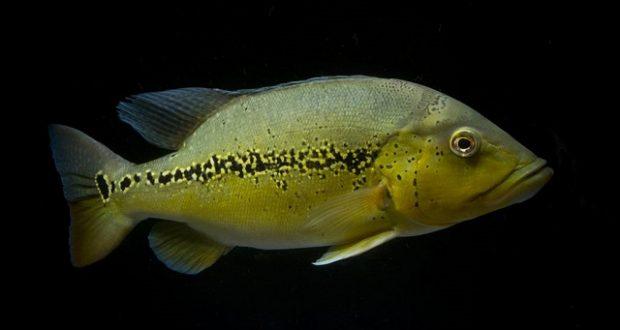 Hình ảnh Cá Hoàng Bảo Yến Mirianae trưởng thành